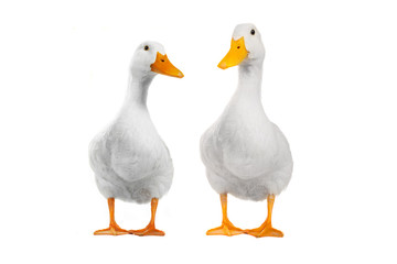 two duck Wall mural