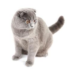 Sitting British cat isolated on white