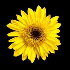 African Daisy. Yellow gerber isolated on black background