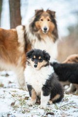 Rough collie puppy sitting in the park