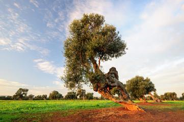 Puglia Olivo millenario
