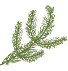 Fir tree branch isolated on white background, coniferous plant.