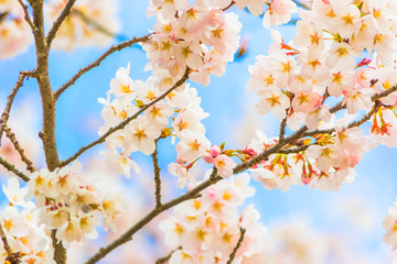 Yoshino cherry blossom in full bloom