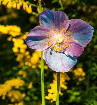 Colorful flower at Longwood Gardens, Pennsylvania.