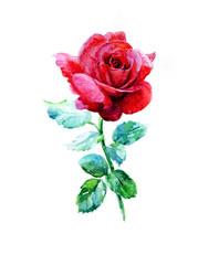 Rose, watercolor.