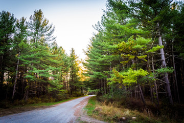Pine trees along a dirt road in Michaux State Forest, Pennsylvan