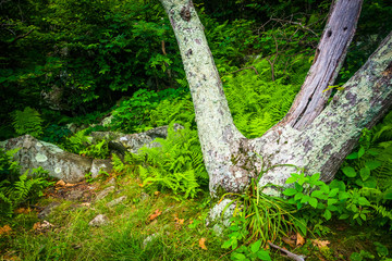 Ferns and trees along the Appalachian Trail in Shenandoah Nation