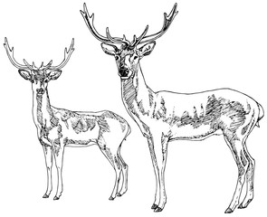 Hand drawn deers. Vector illustration.