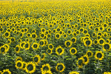 Beautiful Sunflower field  for background picture