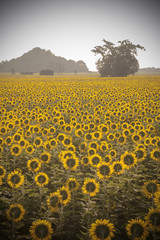 Vintage photo of sunflower in the field at sunset