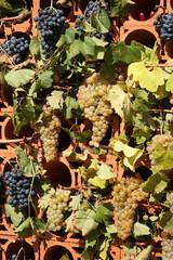 uva bianca e nera innesti