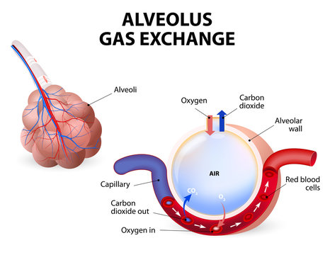 Alveolus. gas exchange
