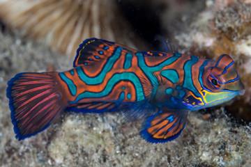 Wall Mural - Mandarinfish Colors