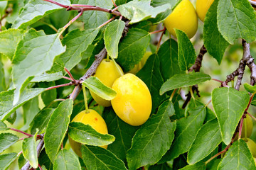 Plums yellow on branch with leaves