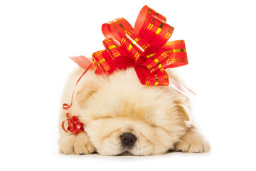 Wall Mural - chow-chow puppy with big red bow