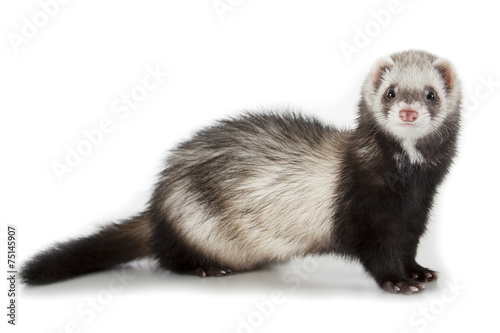 Wall mural young ferret