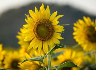 sun flower farm