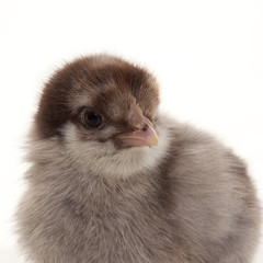 Small fluffy chickens