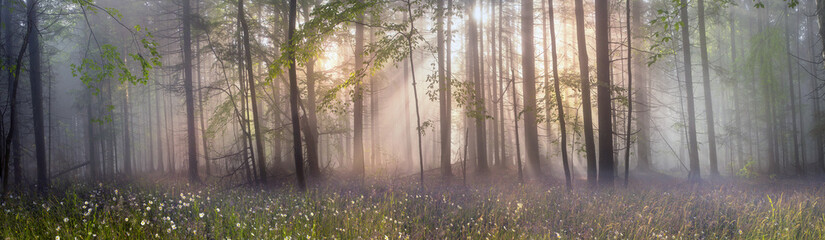 Foto op Canvas Bos Magic Carpathian forest at dawn
