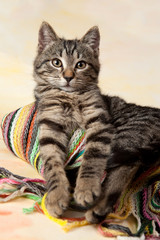 Portrait of tabby kitten with colorful scarf