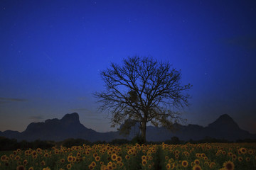 night photgraphy of sunflowers field and dry tree branch against