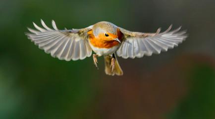 Robin hovering mid flight
