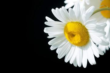 Beautiful daisy closeup on a black background