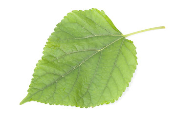 Mulberry leaf on the white background