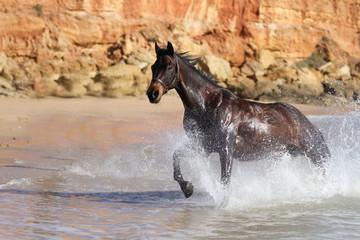 Quarter Horse  - Galopp im Meer