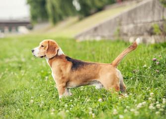 Exterior standing beagle