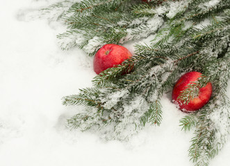 branch of a fir-tree and apples on snow