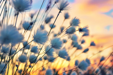 Photo sur Aluminium Bestsellers Cotton grass on a background of the sunset sky