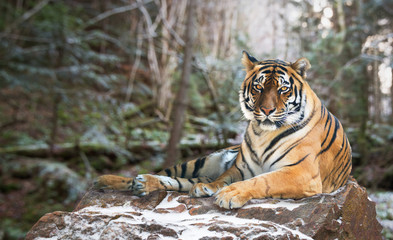 Siberian tiger on nature background