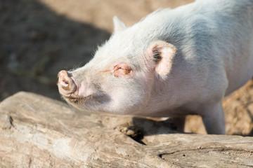 schweinisches Sonnenbaden