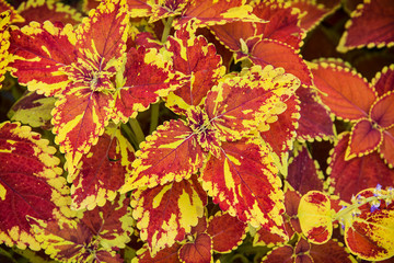Red and yellow begonia plant