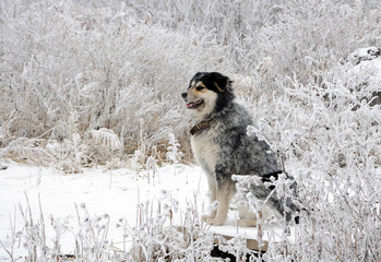 White hoarfrost and dog