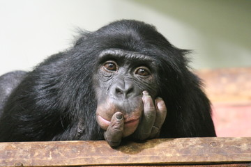 chimpanzee chimp monkey ape (Pan troglodytes or common chimpanzee) chimp looking sad and thoughtful stock photo, stock photograph, image, picture