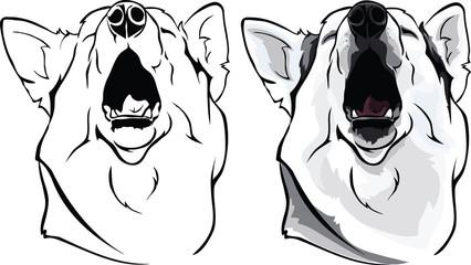 Husky yawns