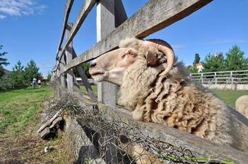 sheep fence head