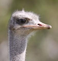 Female Ostrich Portrait