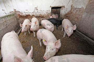 Domestic pigs