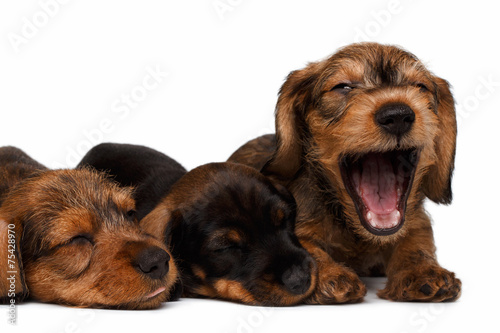 Dachshund Puppies Stock Photo And Royalty Free Images On Fotolia