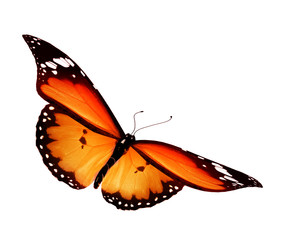 Orange butterfly on white background