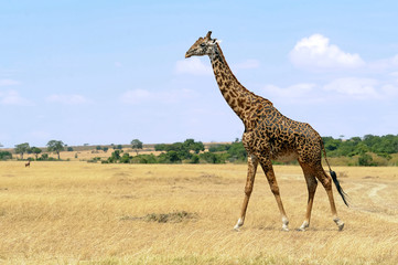 Giraffe on the Masai Mara in Africa