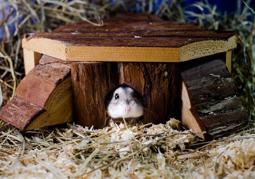 Hamster in der Hütte