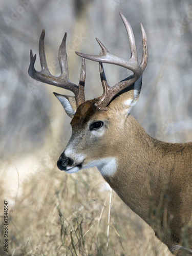 Wall mural Whitetial Buck