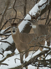 Wall Mural - Winter Whitetails