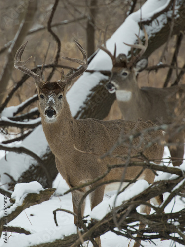 Wall mural Winter Whitetails
