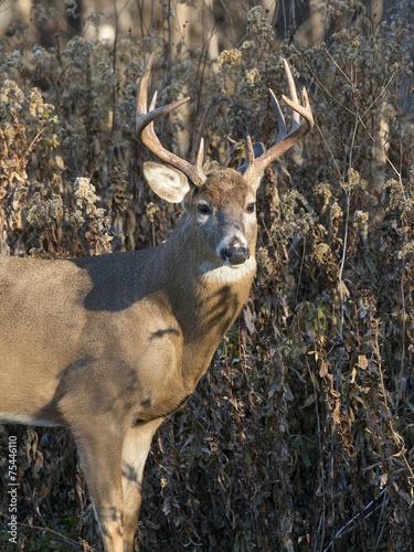 Wall mural Whitetail Deer