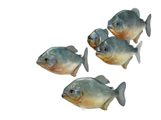 group of piranhas